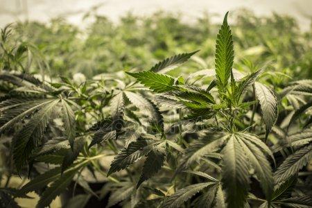 marijuana - depositphotos