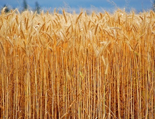 South Korea & Japan Halt Canadian Wheat Imports