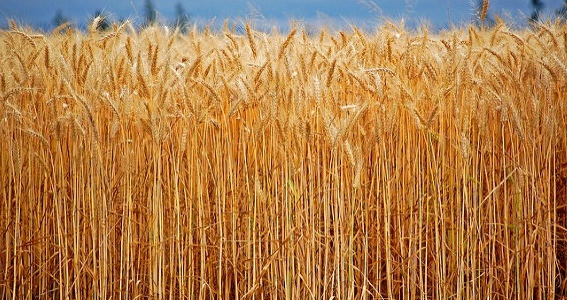 South Korea & Japan Halt Canadian Wheat Imports